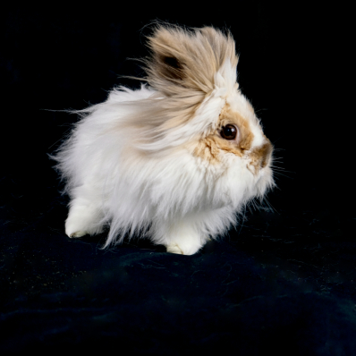 White Lionhead rabbit in photo studio