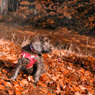 Cockerpoo in the autumn leaves in the Lickey Hills