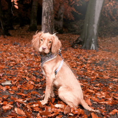 Spaniel sat in the autumn leaves in the Lickey Hills