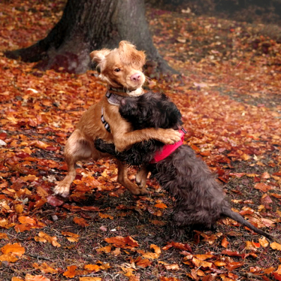 two cute dogs playing in the autumn leaves at the lickey hills