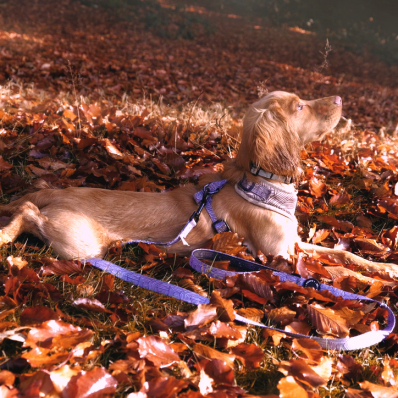 cute spaniel in the autumn leaves at the lickey hills