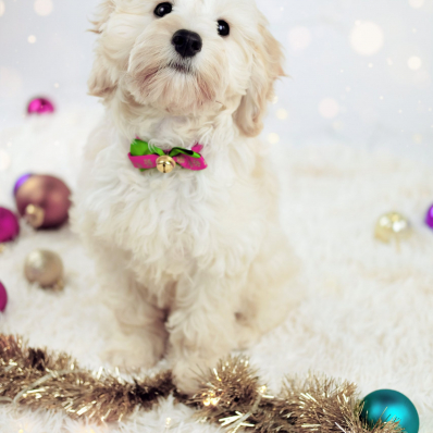 cockapoo puppy studio photoshoot worcestershire