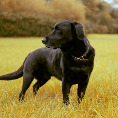 black labrador at morton stanley park redditch