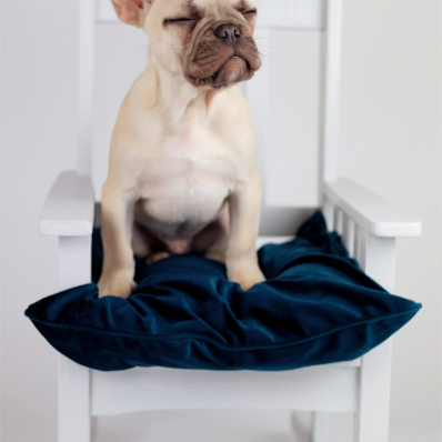 French Bulldog puppy studio photoshoot worcestershire